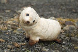 800px-Baby_fur_seal,_South_Georgia