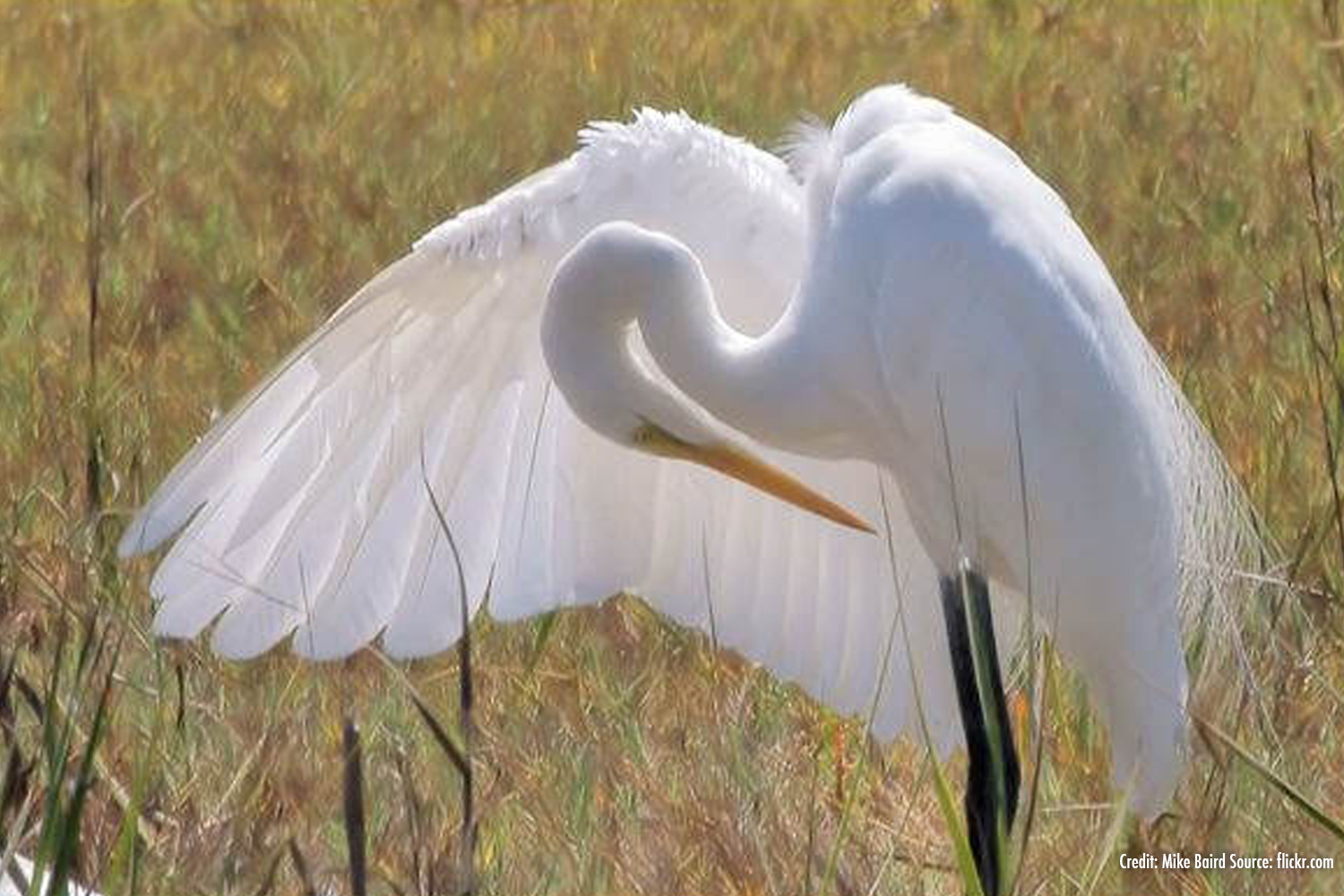 Egret Bowing