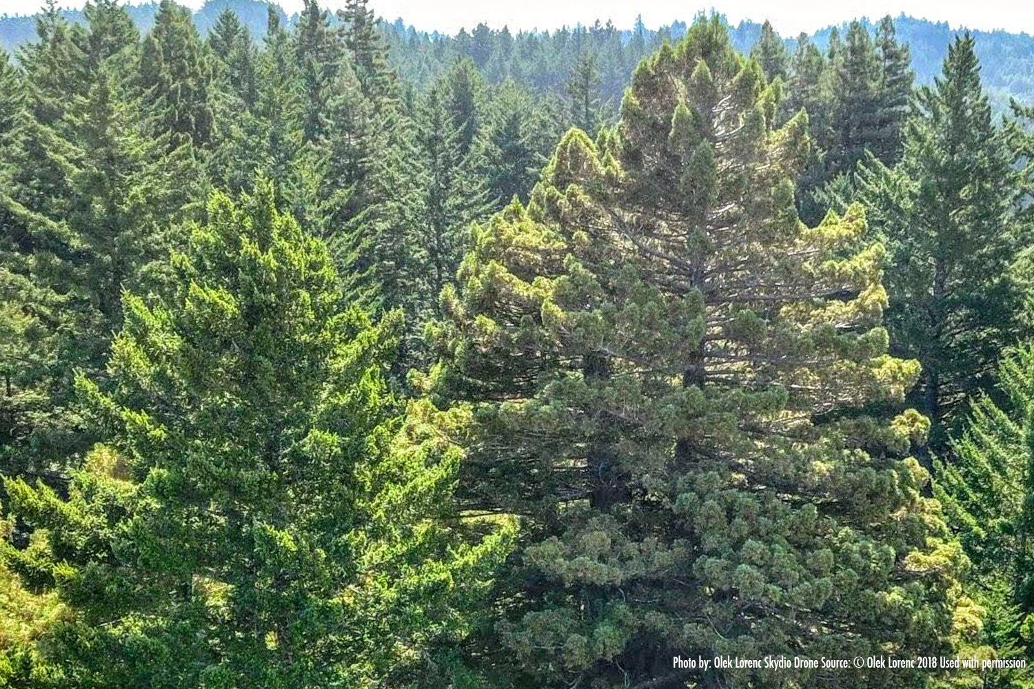 Methuselah & Douglas Fir